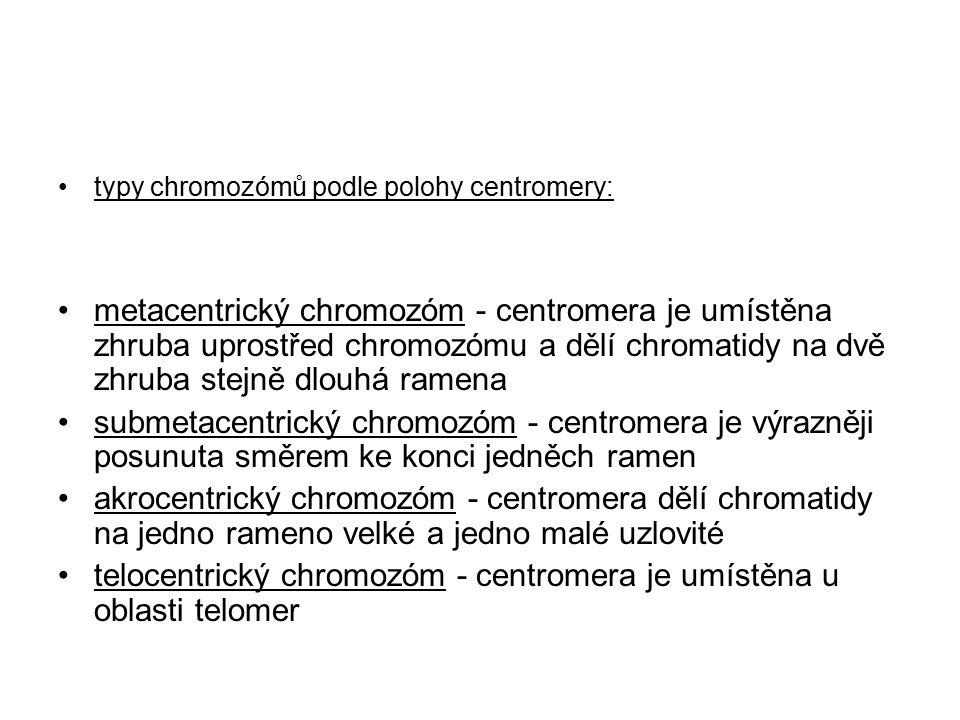typy chromozómů podle polohy centromery: metacentrický chromozóm - centromera je umístěna zhruba uprostřed chromozómu a dělí chromatidy na dvě zhruba