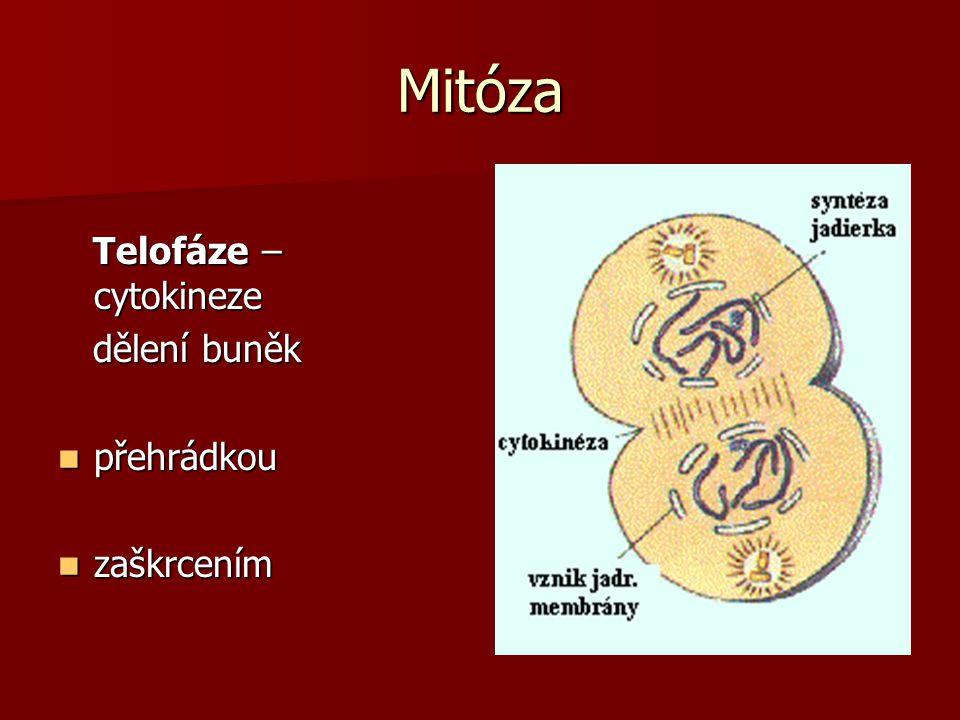 Mitóza Telofáze – cytokineze Telofáze – cytokineze dělení buněk dělení buněk přehrádkou přehrádkou zaškrcením zaškrcením