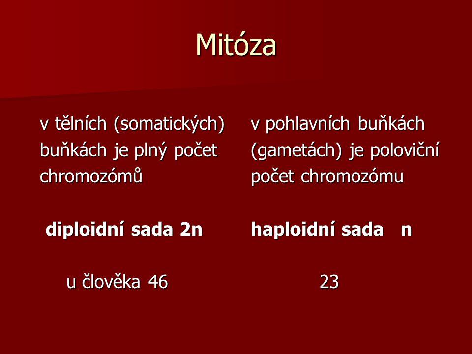 Mitóza v tělních (somatických) v tělních (somatických) buňkách je plný počet buňkách je plný počet chromozómů chromozómů diploidní sada 2n diploidní s