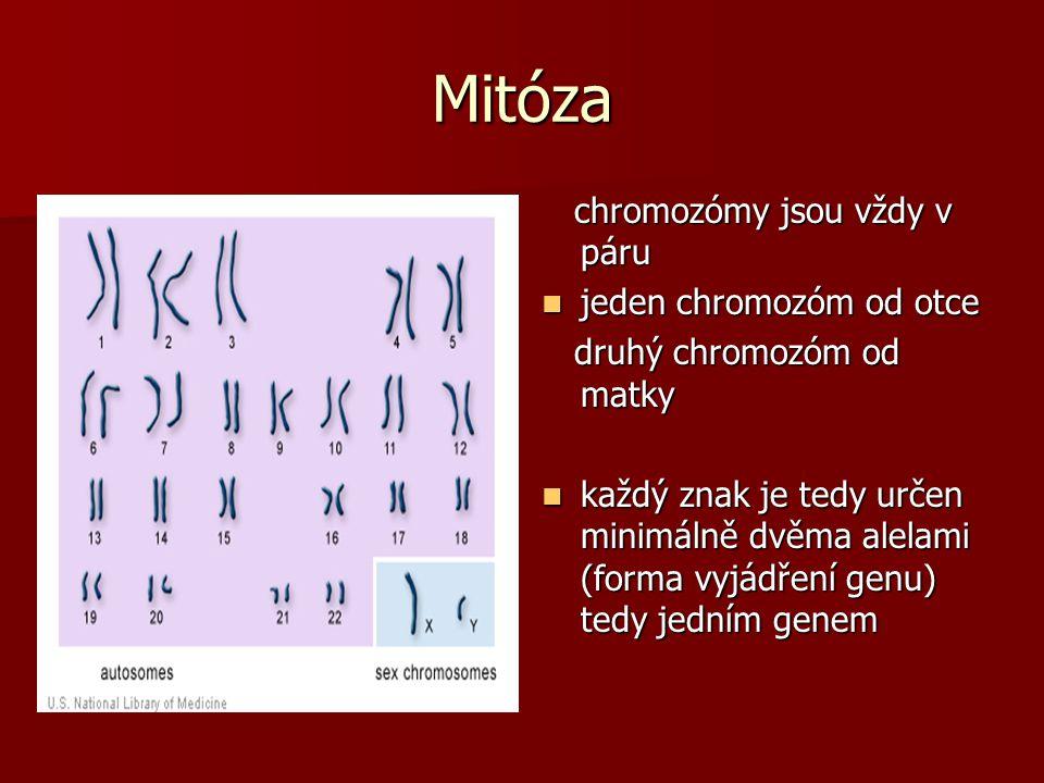 Mitóza chromozómy jsou vždy v páru chromozómy jsou vždy v páru jeden chromozóm od otce jeden chromozóm od otce druhý chromozóm od matky druhý chromozó