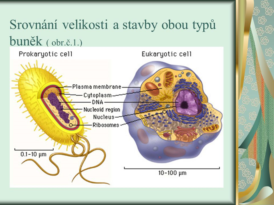 Srovnání velikosti a stavby obou typů buněk ( obr.č.1.)