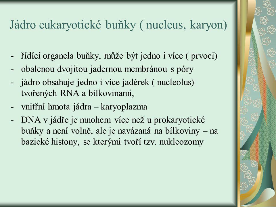 Jádro eukaryotické buňky ( nucleus, karyon) -řídící organela buňky, může být jedno i více ( prvoci) -obalenou dvojitou jadernou membránou s póry -jádro obsahuje jedno i více jadérek ( nucleolus) tvořených RNA a bílkovinami, -vnitřní hmota jádra – karyoplazma -DNA v jádře je mnohem více než u prokaryotické buňky a není volně, ale je navázaná na bílkoviny – na bazické histony, se kterými tvoří tzv.