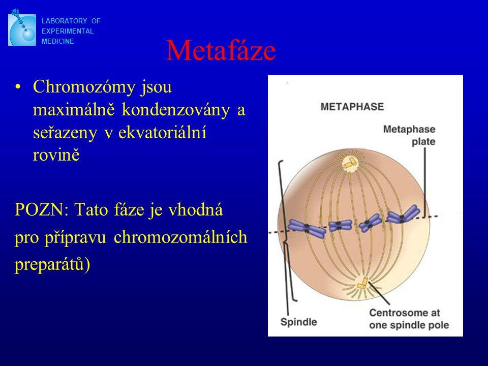 Metafáze Chromozómy jsou maximálně kondenzovány a seřazeny v ekvatoriální rovině POZN: Tato fáze je vhodná pro přípravu chromozomálních preparátů) LABORATORY OF EXPERIMENTAL MEDICINE