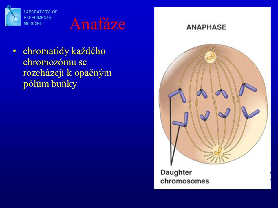 Anafáze chromatidy každého chromozómu se rozcházejí k opačným pólům buňky LABORATORY OF EXPERIMENTAL MEDICINE