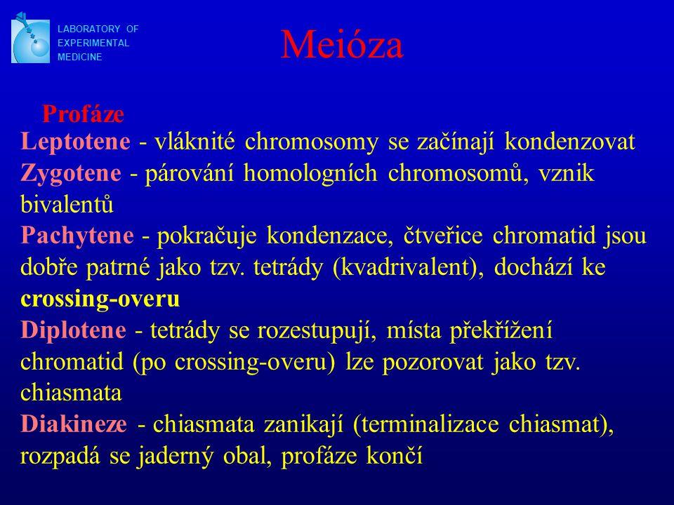 LABORATORY OF EXPERIMENTAL MEDICINE Meióza Profáze Leptotene - vláknité chromosomy se začínají kondenzovat Zygotene - párování homologních chromosomů, vznik bivalentů Pachytene - pokračuje kondenzace, čtveřice chromatid jsou dobře patrné jako tzv.