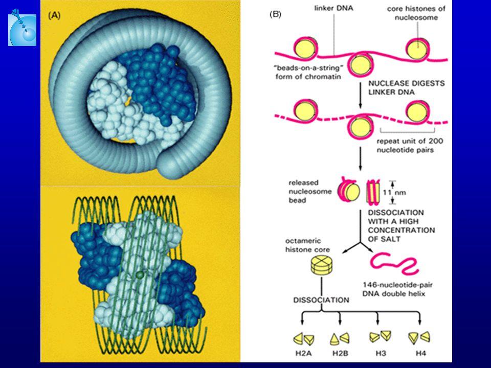 Telofáze a cytokineze Telofáze dekondenzace chromozómů začíná se tvořit jaderný obal Cytokineze tímto procesem se oddělí cytoplazmy dceřiných buněk Pro další dělení se sesterské chromatidy se dosyntetizují v S-fázi LABORATORY OF EXPERIMENTAL MEDICINE
