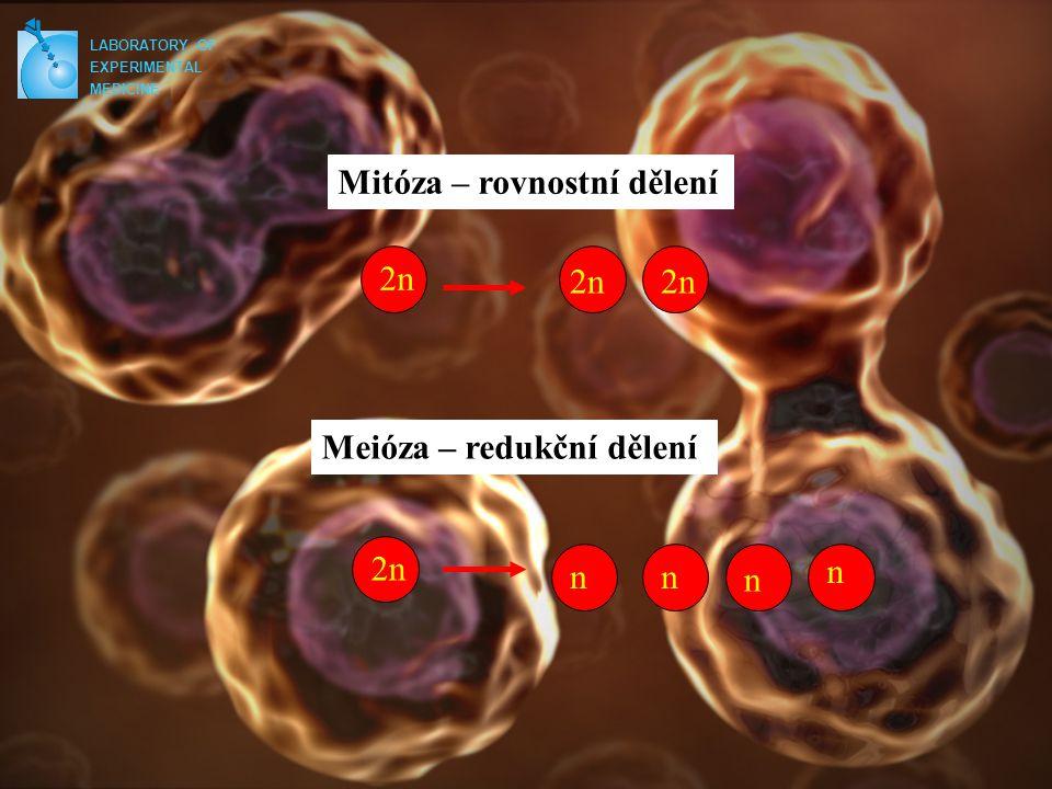 LABORATORY OF EXPERIMENTAL MEDICINE Mitóza – rovnostní dělení Meióza – redukční dělení 2n nn n n