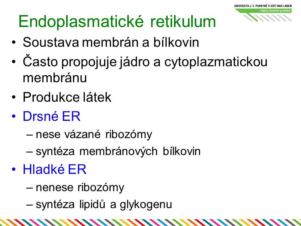 Endoplasmatické retikulum Soustava membrán a bílkovin Často propojuje jádro a cytoplazmatickou membránu Produkce látek Drsné ER –nese vázané ribozómy