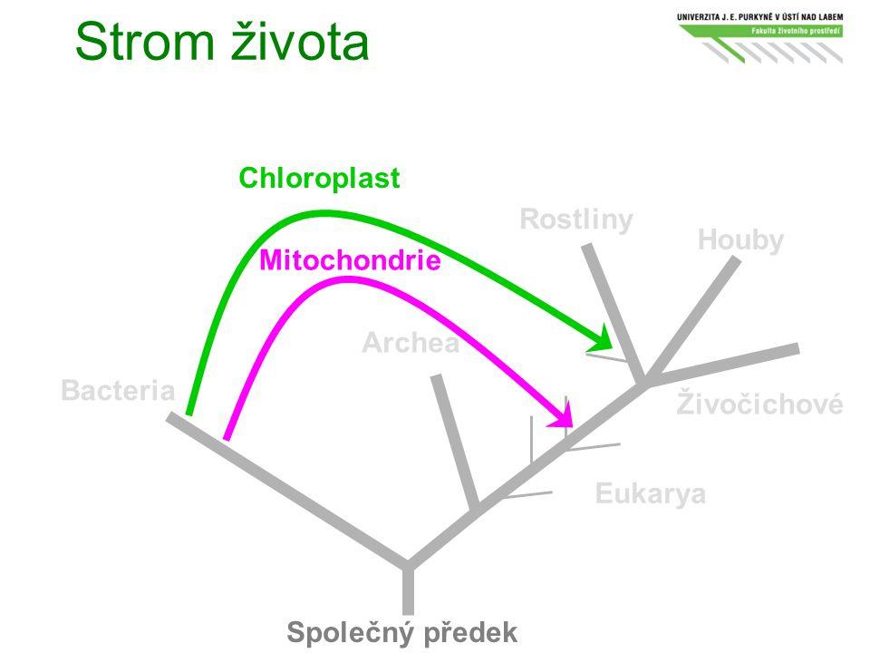 Strom života Společný předek Bacteria Archea Eukarya Rostliny Houby Živočichové Chloroplast Mitochondrie