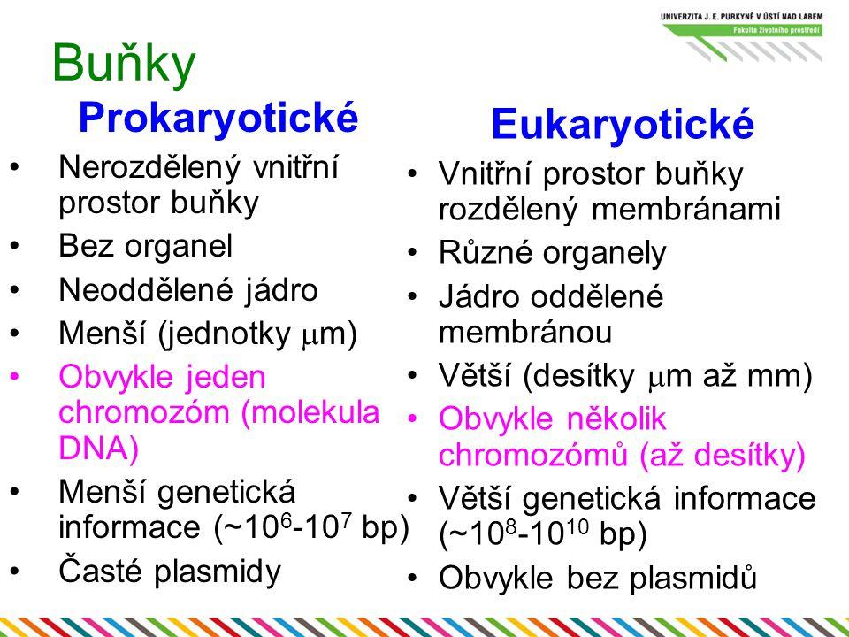 Buňky Prokaryotické Nerozdělený vnitřní prostor buňky Bez organel Neoddělené jádro Menší (jednotky  m) Obvykle jeden chromozóm (molekula DNA) Menší g
