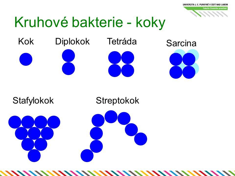 Kruhové bakterie - koky KokDiplokokTetráda Sarcina StafylokokStreptokok