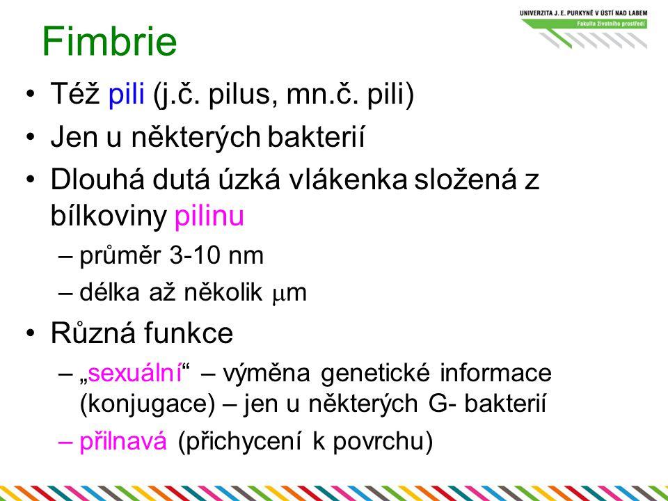 Fimbrie Též pili (j.č. pilus, mn.č. pili) Jen u některých bakterií Dlouhá dutá úzká vlákenka složená z bílkoviny pilinu –průměr 3-10 nm –délka až něko