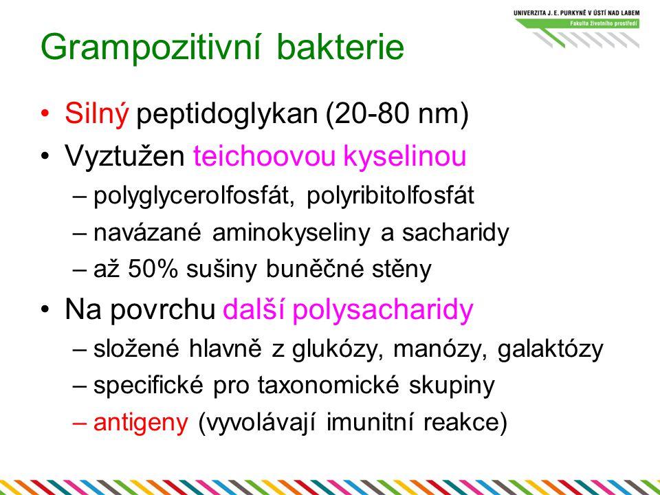 Grampozitivní bakterie Silný peptidoglykan (20-80 nm) Vyztužen teichoovou kyselinou –polyglycerolfosfát, polyribitolfosfát –navázané aminokyseliny a s