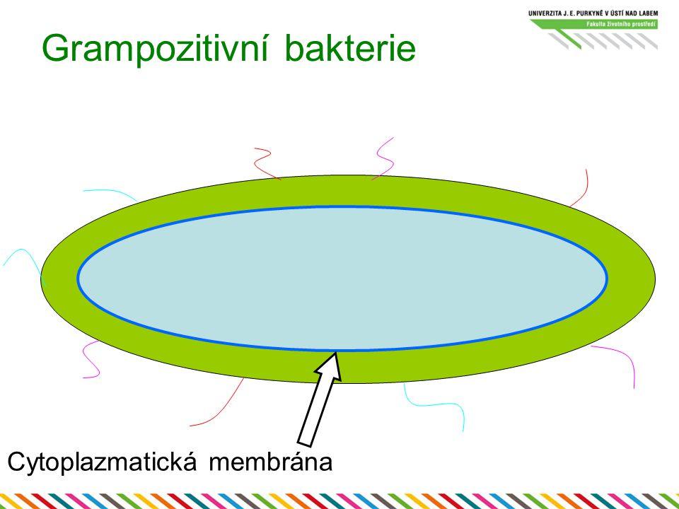 Grampozitivní bakterie Cytoplazmatická membrána