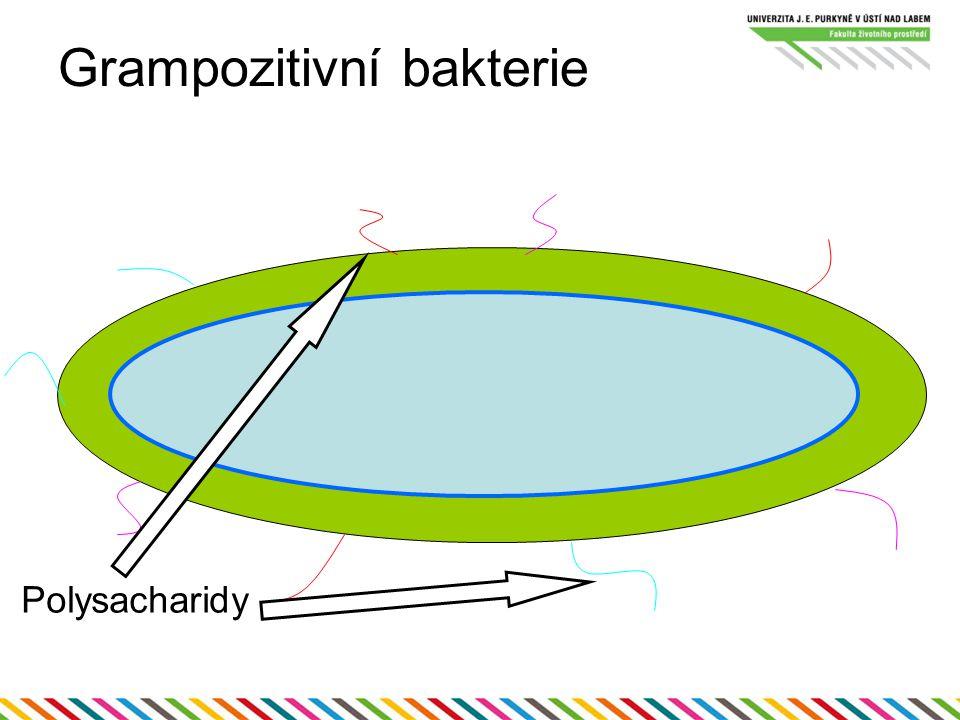 Grampozitivní bakterie Polysacharidy