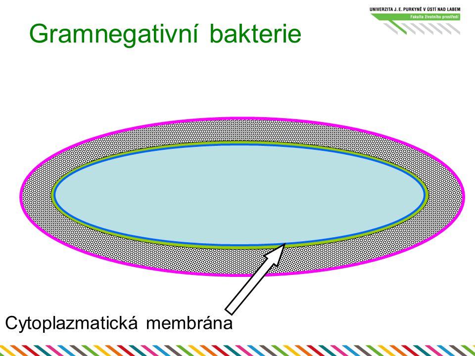 Gramnegativní bakterie Cytoplazmatická membrána