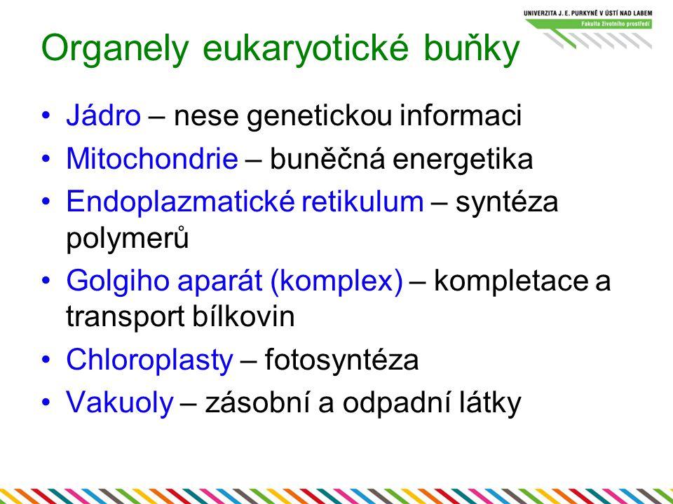 Organely eukaryotické buňky Jádro – nese genetickou informaci Mitochondrie – buněčná energetika Endoplazmatické retikulum – syntéza polymerů Golgiho a