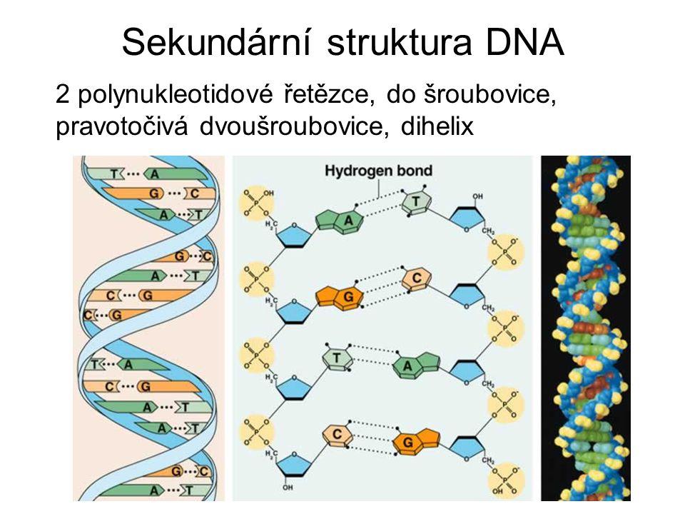 Sekundární struktura DNA 2 polynukleotidové řetězce, do šroubovice, pravotočivá dvoušroubovice, dihelix