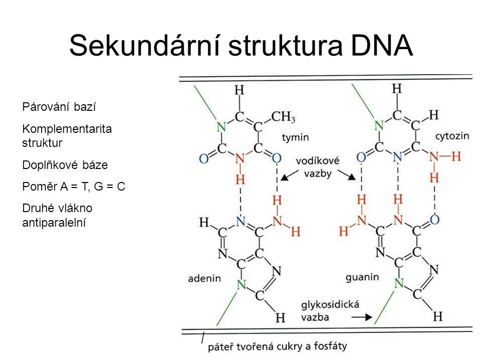 Sekundární struktura DNA Párování bazí Komplementarita struktur Doplňkové báze Poměr A = T, G = C Druhé vlákno antiparalelní