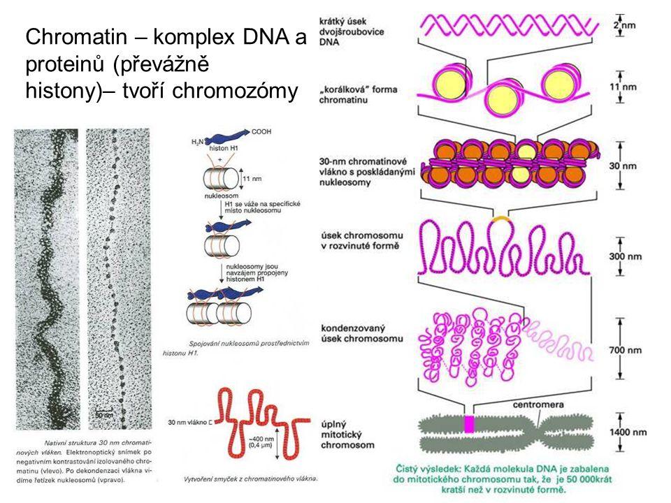 Chromatin – komplex DNA a proteinů (převážně histony)– tvoří chromozómy
