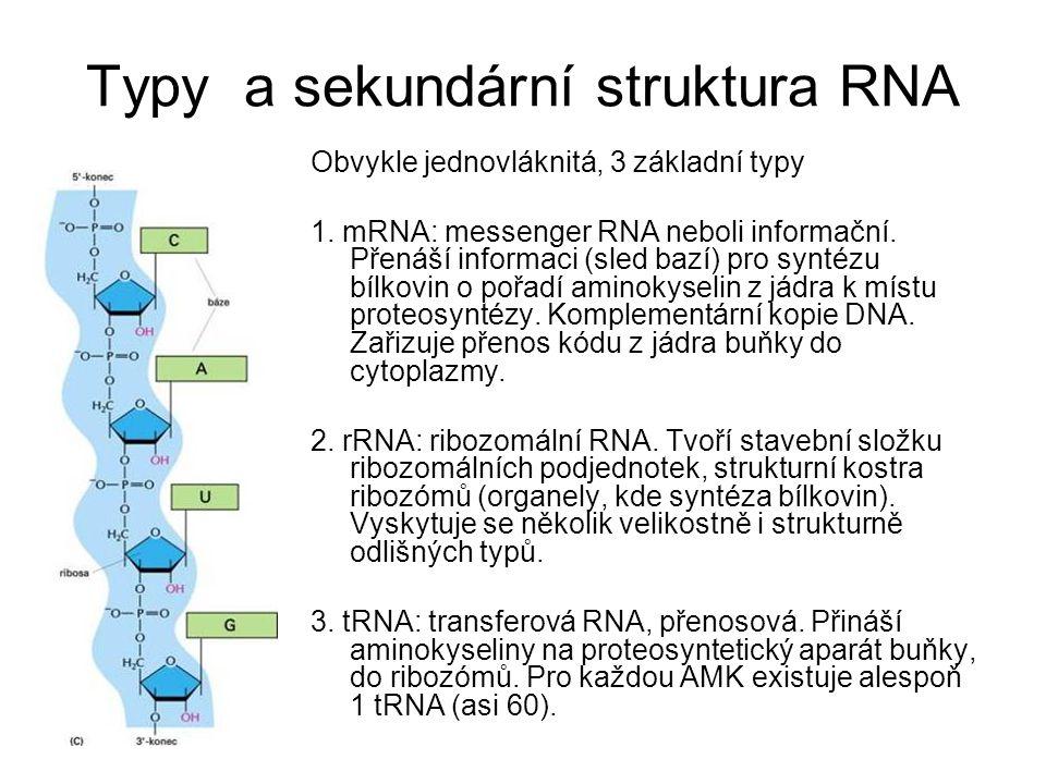 Typy a sekundární struktura RNA Obvykle jednovláknitá, 3 základní typy 1. mRNA: messenger RNA neboli informační. Přenáší informaci (sled bazí) pro syn