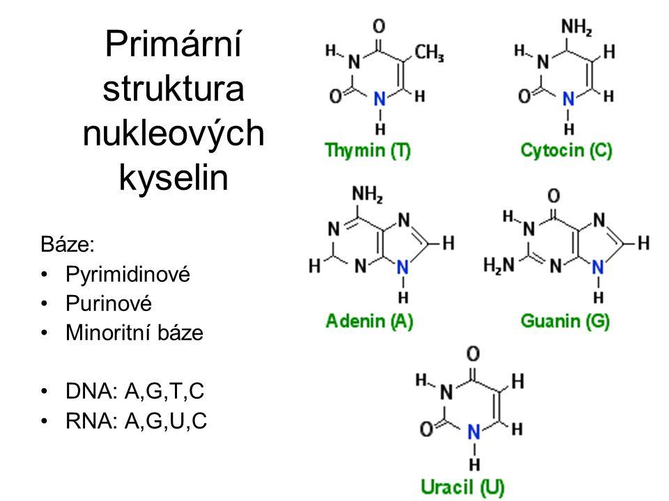 Primární struktura nukleových kyselin Báze: Pyrimidinové Purinové Minoritní báze DNA: A,G,T,C RNA: A,G,U,C