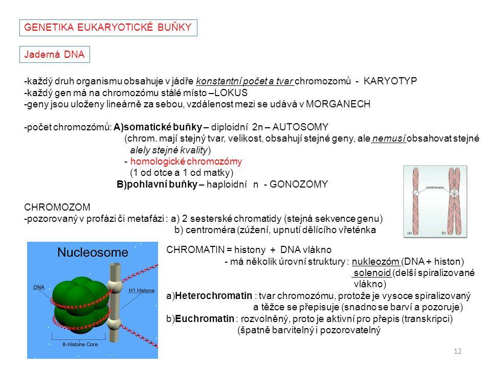 GENETIKA EUKARYOTICKÉ BUŇKY Jaderná DNA -každý druh organismu obsahuje v jádře konstantní počet a tvar chromozomů - KARYOTYP -každý gen má na chromozó