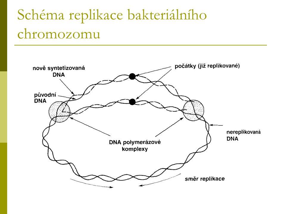 Schéma replikace bakteriálního chromozomu