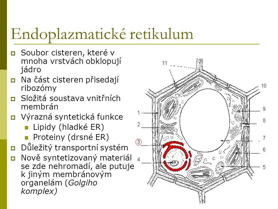 Endoplazmatické retikulum  Soubor cisteren, které v mnoha vrstvách obklopují jádro  Na část cisteren přisedají ribozómy  Složitá soustava vnitřních