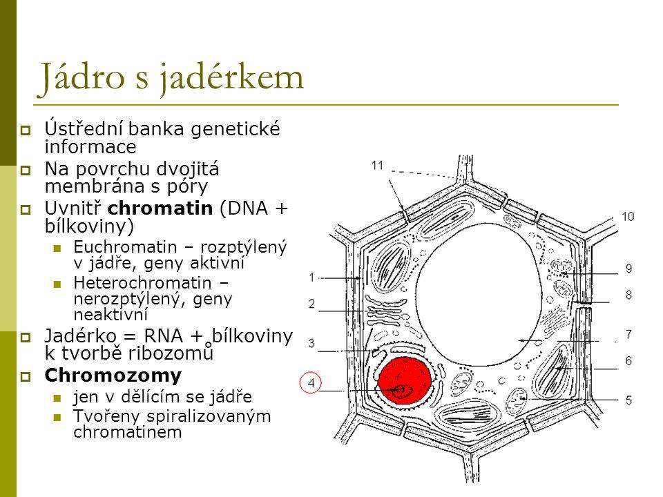 Jádro s jadérkem  Ústřední banka genetické informace  Na povrchu dvojitá membrána s póry  Uvnitř chromatin (DNA + bílkoviny) Euchromatin – rozptýle