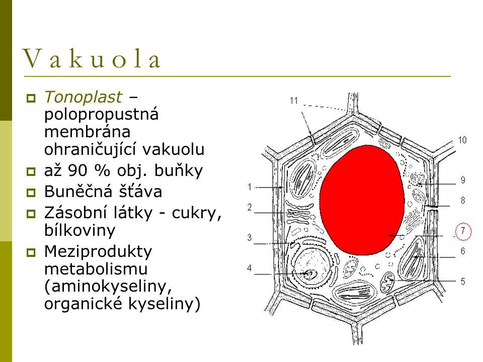  Tonoplast – polopropustná membrána ohraničující vakuolu  až 90 % obj. buňky  Buněčná šťáva  Zásobní látky - cukry, bílkoviny  Meziprodukty metab