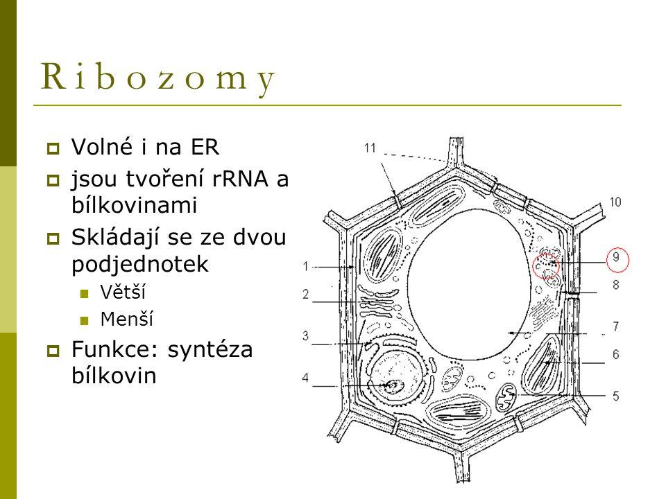 R i b o z o m y  Volné i na ER  jsou tvoření rRNA a bílkovinami  Skládají se ze dvou podjednotek Větší Menší  Funkce: syntéza bílkovin