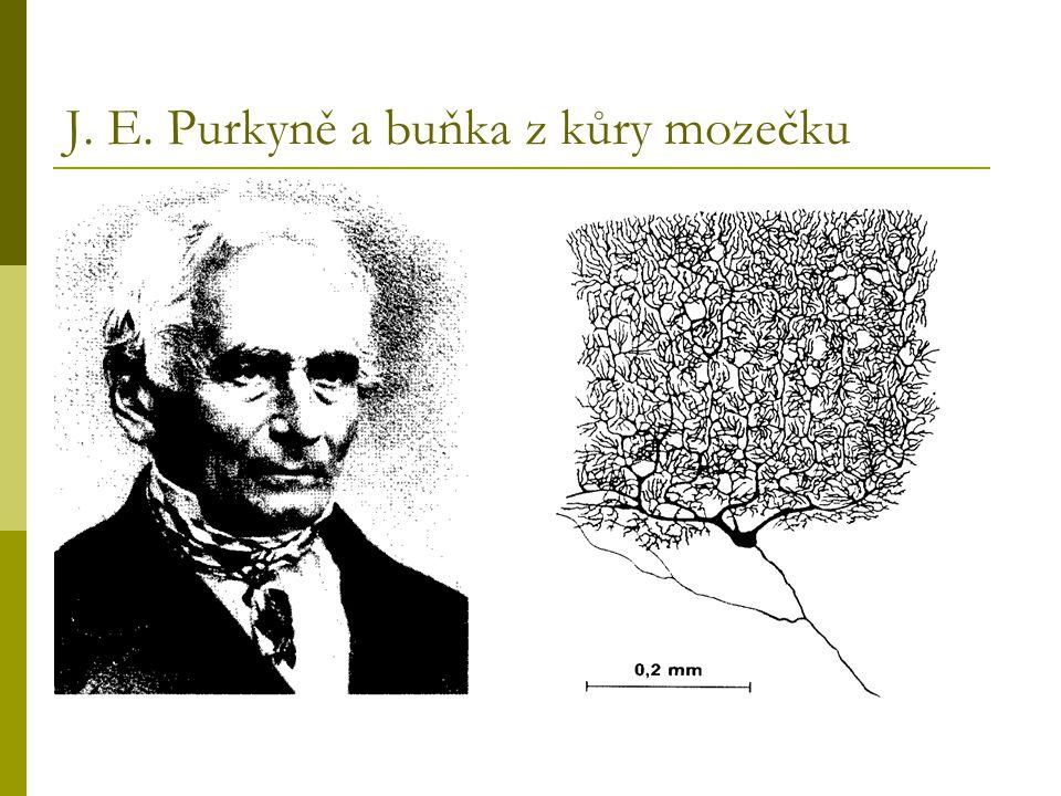 J. E. Purkyně a buňka z kůry mozečku