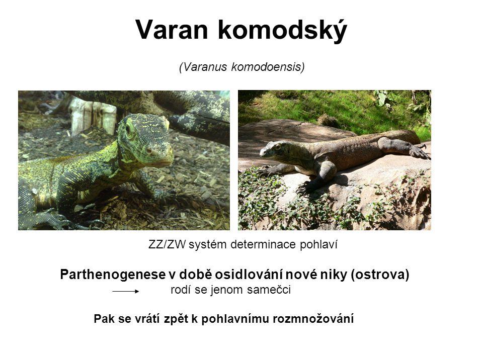 Varan komodský (Varanus komodoensis) ZZ/ZW systém determinace pohlaví Parthenogenese v době osidlování nové niky (ostrova) rodí se jenom samečci Pak s