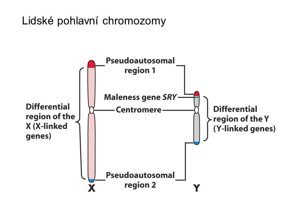 Lidské pohlavní chromozomy