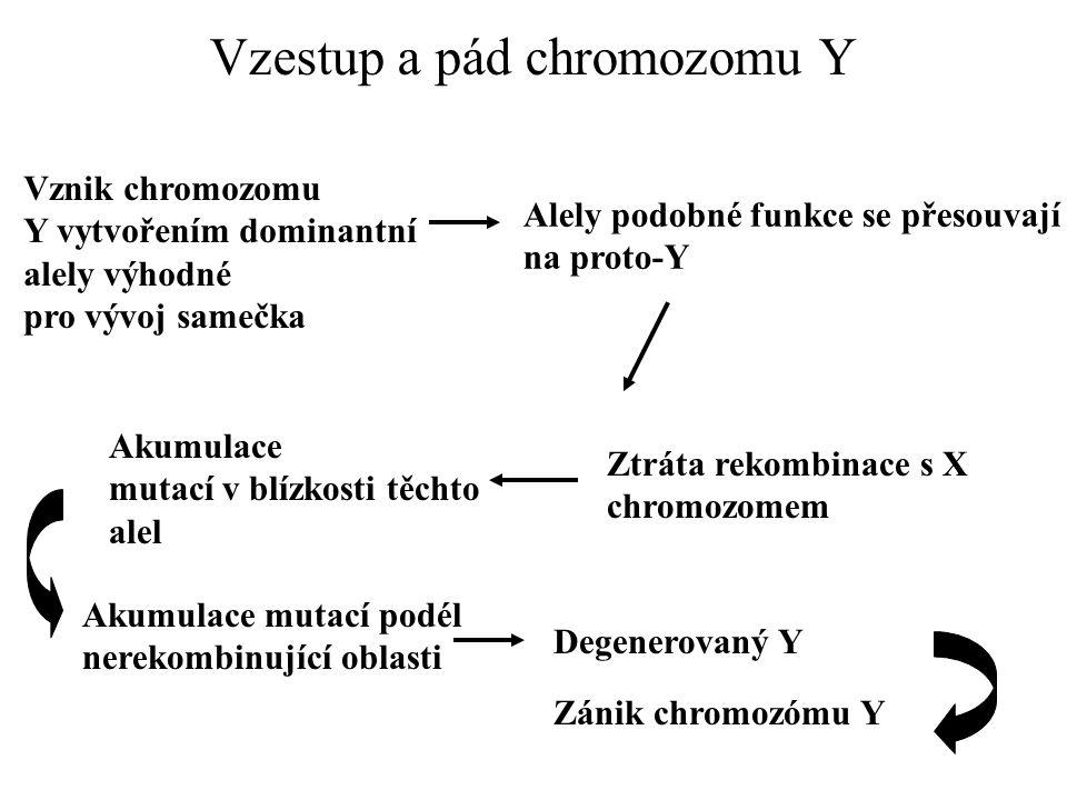 Vzestup a pád chromozomu Y Vznik chromozomu Y vytvořením dominantní alely výhodné pro vývoj samečka Alely podobné funkce se přesouvají na proto-Y Ztrá