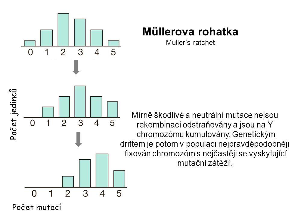 Počet jedinců Počet mutací Mírně škodlivé a neutrální mutace nejsou rekombinací odstraňovány a jsou na Y chromozómu kumulovány. Genetickým driftem je