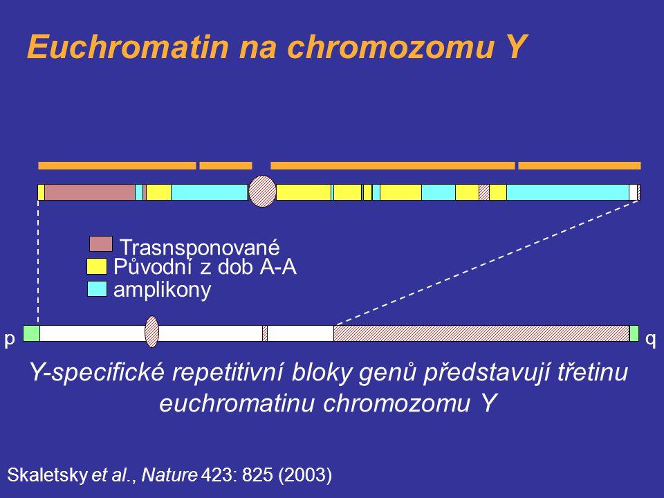Euchromatin na chromozomu Y pq Y-specifické repetitivní bloky genů představují třetinu euchromatinu chromozomu Y Trasnsponované Původní z dob A-A ampl