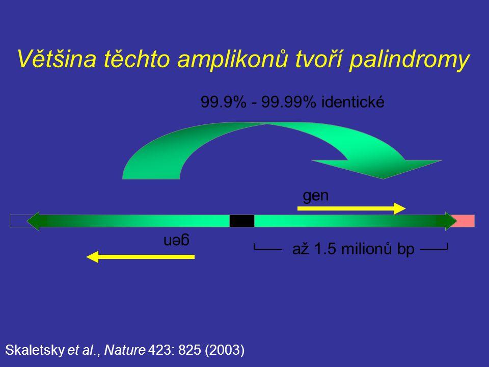 99.9% - 99.99% identické až 1.5 milionů bp gen Skaletsky et al., Nature 423: 825 (2003) Většina těchto amplikonů tvoří palindromy