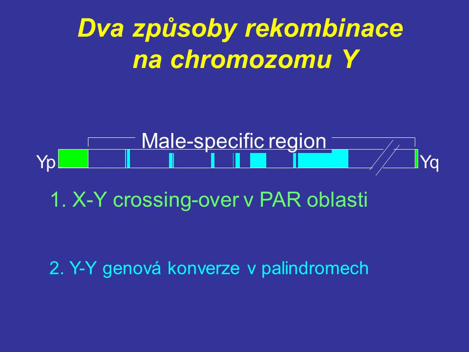Dva způsoby rekombinace na chromozomu Y 1. X-Y crossing-over v PAR oblasti 2. Y-Y genová konverze v palindromech YpYq Male-specific region