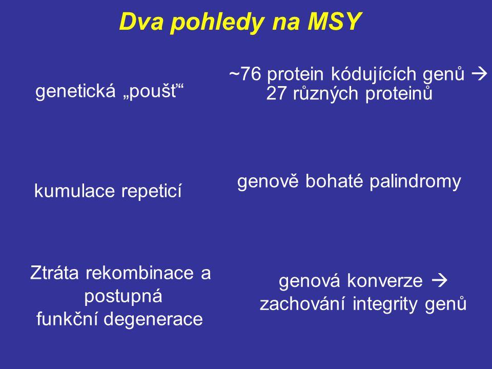 """Dva pohledy na MSY genetická """"poušť"""" kumulace repeticí Ztráta rekombinace a postupná funkční degenerace ~76 protein kódujících genů  27 různých prote"""