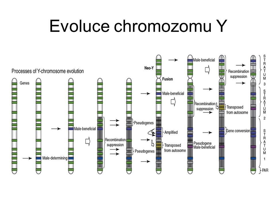 Evoluce chromozomu Y