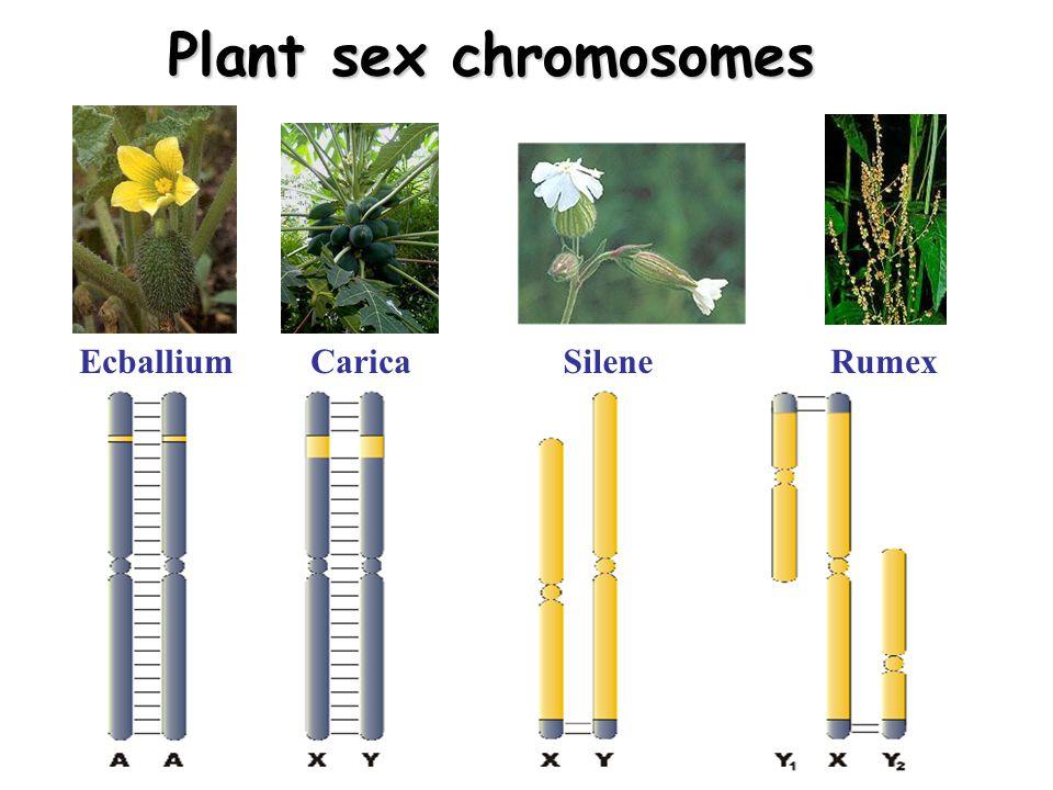 Plant sex chromosomes EcballiumCaricaSileneRumex