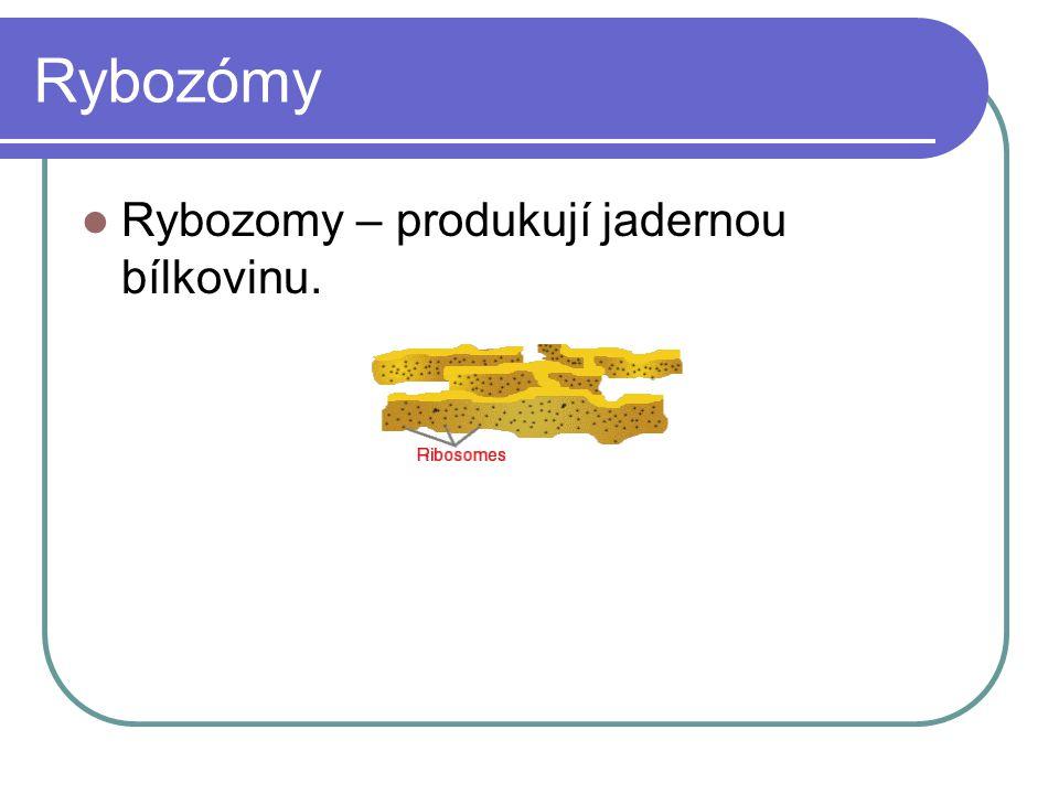 Rybozómy Rybozomy – produkují jadernou bílkovinu.