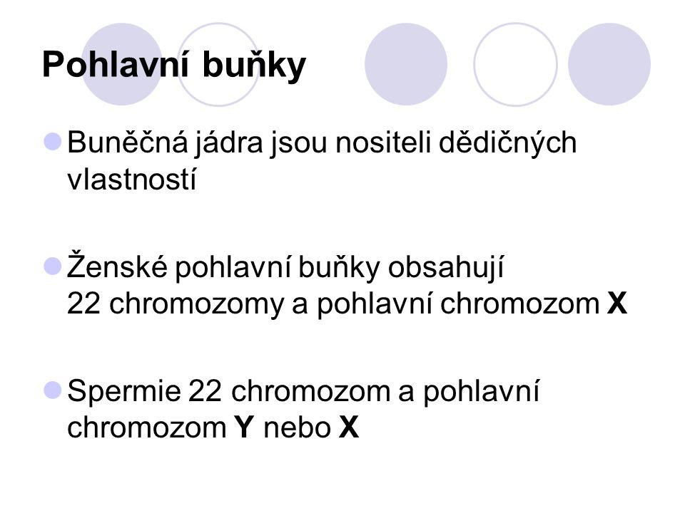 Pohlavní buňky Buněčná jádra jsou nositeli dědičných vlastností Ženské pohlavní buňky obsahují 22 chromozomy a pohlavní chromozom X Spermie 22 chromoz