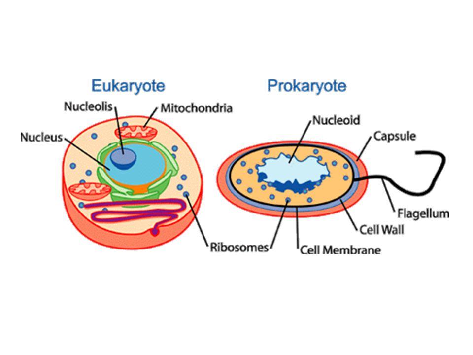 Prokaryota x Eukaryota ProkayotaEukaryota OrganismyBakterie, ArcheaRostliny, Houby, Živočichové a Prvoci Typ jádraNukleární regionMakronukleus a mikronukleus s dvojitou membránou DNACirkulárníDlouhé lineární molekuly složené s histony (proteiny podílející se na výstavbě chromatinu) v chromozomech Syntéza RNAV cytoplazměUvnitř jádra OrganelyVelmi máloSpecializované a organizované MitochondrieJen jednaMnoho, někdy žádná ChloroplastyNejsouRostliny OrganizaceSamostatné b.I mnohobuněčné