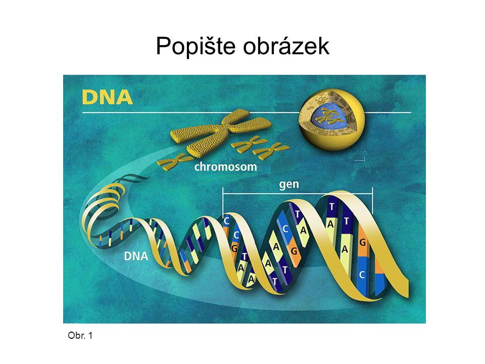 Stavba chromozomu 1) chromatidy ( ramena) 2) centromera 3) krátké rameno 4) dlouhé rameno Obr. 2