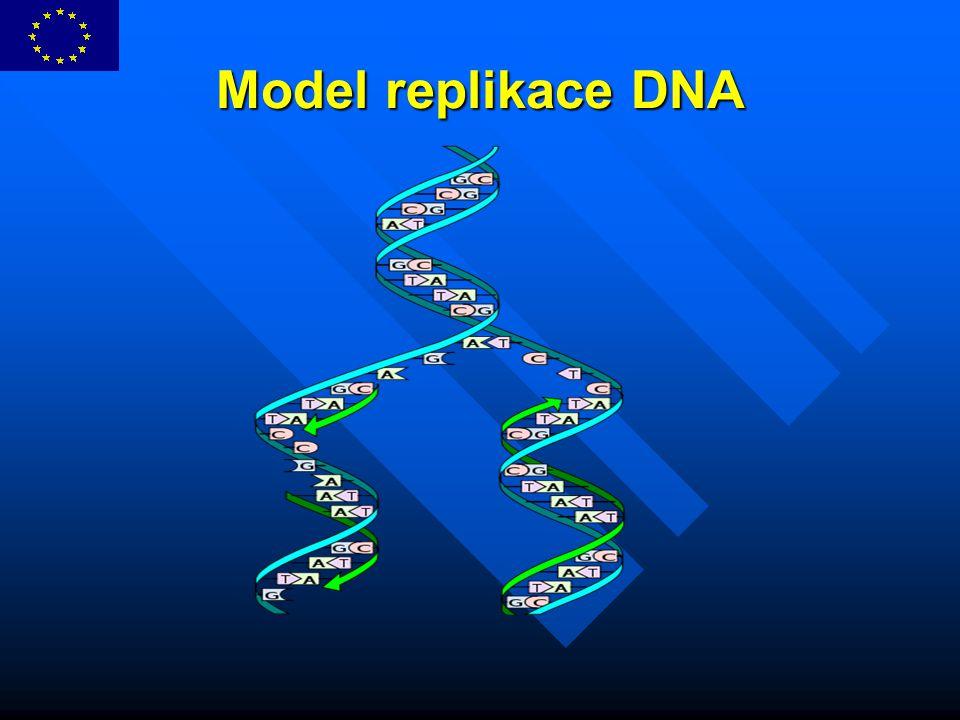 Model replikace DNA