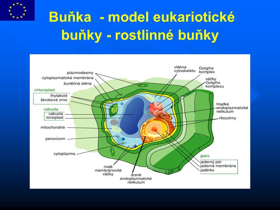 Buňka - model eukariotické buňky - rostlinné buňky
