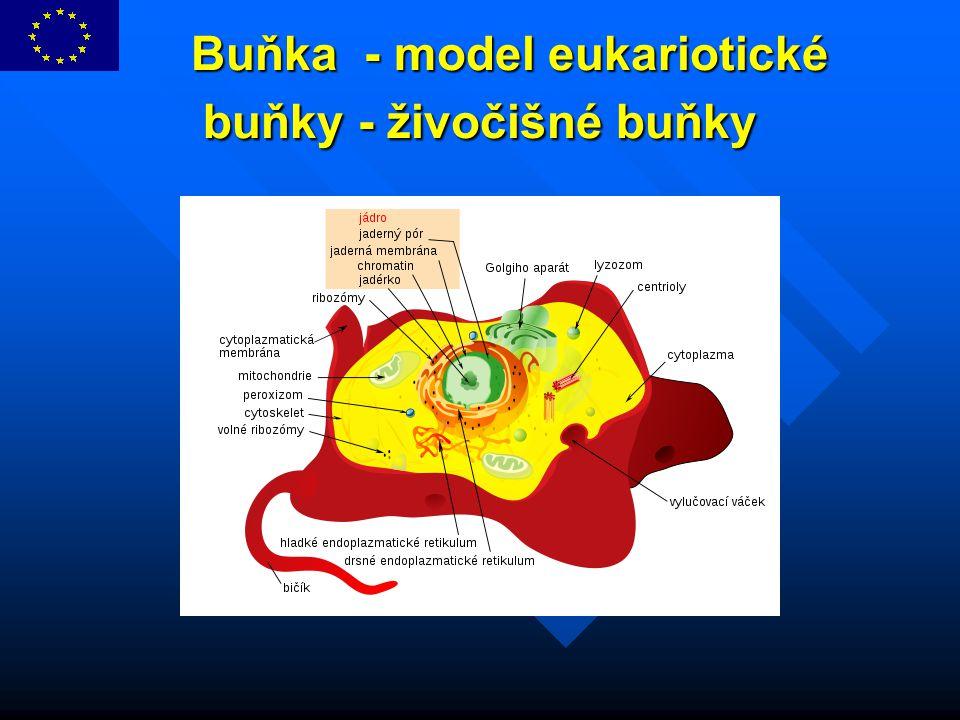 Buňka - model eukariotické buňky - živočišné buňky Buňka - model eukariotické buňky - živočišné buňky